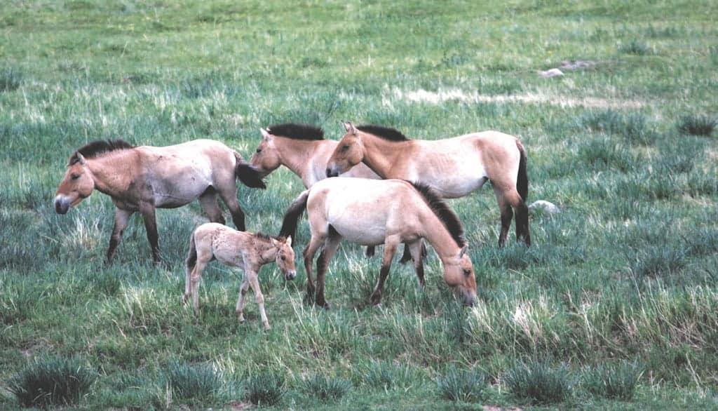 Przewalski-Horses (Takhi)